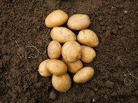 Майская картошка: все за и против. картофель картошка