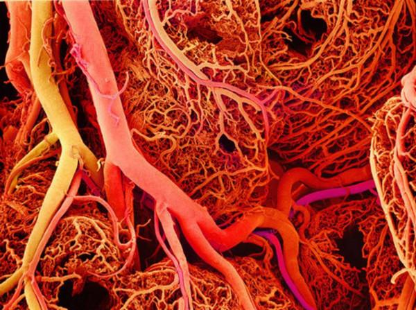 В костях человека обнаружены мелкие кровеносные сосуды. 17154.jpeg