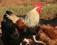 Как сделать курицу