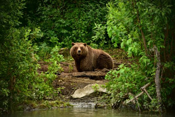 В Карелии медведица покусала дачника. медицина, здоровье, врач, дачник, медведь, Карелия