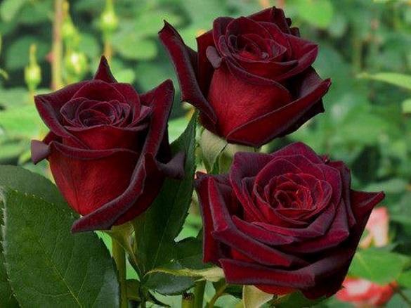 Розы: Как не только любоваться, но и лечиться с помощью роз
