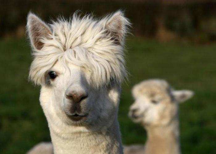Ламы помогут одолеть грипп. 16358.jpeg