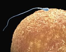 Яйцеклетки будут получать из кожи?. яйцеклетка