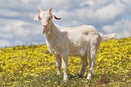 Что открыли эфиопские козы?. 8595.jpeg