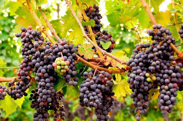Есть такая профессия – антиоксидант. виноград