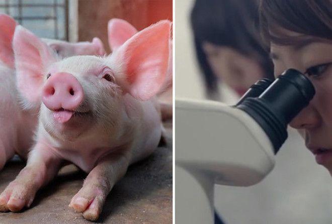 Ученые пересадили свиньям выращенные в лаборатории легкие. 15912.jpeg