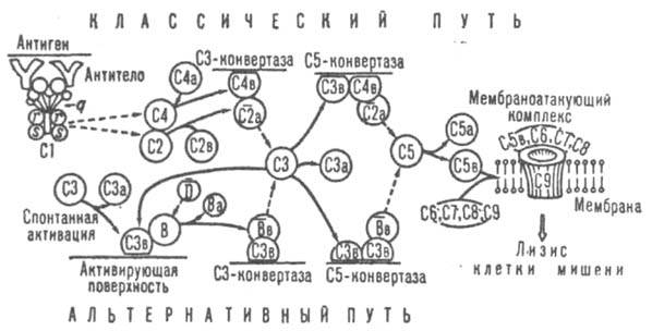 http://www.medpulse.ru/image/encyclopedia/6/5/2/7652.jpeg