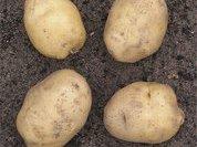 Как вырастить озимую картошку