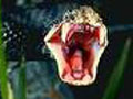 Кровь из змеиного укуса надо выдавливать, а не высасывать