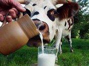 Парное молоко - это не просто питье. Это пища