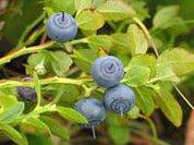 Черника - царица лечебных ягод