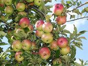 Яблочный Спас – варенье у нас!