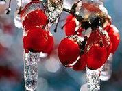 Рябина в морозы спасет от авитаминоза